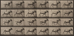 Eadweard Muybridge domestic animals